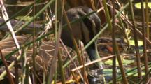 A Pacific Black Duck Forages In A Pond