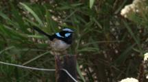 A Superb Fairy-Wren Sings On A Fence Post