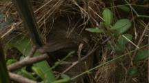Female Superb Fairy-Wren At The Nest
