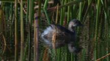 Australasian Grebe Swims Through Reed Refelections And Dives