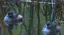 Australasian Grebes Float Among Reed In A Pond
