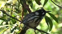 New Holland Honeyeater Perched On Branch Preens Plumage