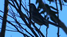 Red Wattlebird Calls, Perched On Branch, And Leaves