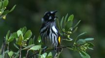 New Holland Honeyeater Sings On Top Of A Bush And Flies
