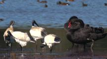 White Ibis And Black Swans Gather On A Mudflat