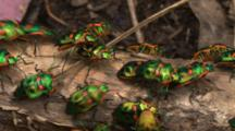 Shield Bugs Busily Crawl Along A Branch