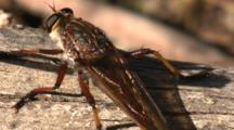 A Robber Fly Takes To The Air