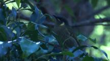 A Lewin's Honeyeater Forages In A Bush