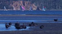 Black Swans Congregate On A Mudflat, Sailing Boats Pass Behind