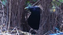 A Male Satin Bowerbird Has A Close Look At Its Bower And Leaves