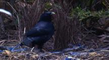A Male Bowerbird At Its Bower Has A Good Look At Its Possessions