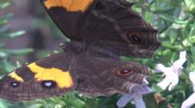 A Butterfly Sucks Nectar From Blossoms And Leaves