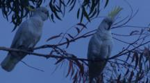 One Of Two Cockatoos Performs Gymnastics On Its Perch