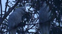 Two Cockatoos Have A Quiet Time On A Gum Tree