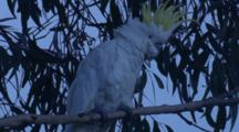 A Sulphur-Crested Cockatoo Scratches Itself On Its Perch