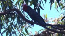 A Male Gang-Gang Cockatoo Nibbles On A Branch