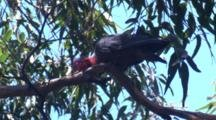 A Male Gang-Gang Cockatoo Nibbles On A Branch And Preens