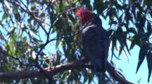 A Cockatoo Takes A Break In The Canopy Of A Gum Tree