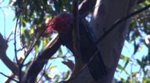 A Cockatoo Nibbles On The Branch Of A Eucalyptus Tree