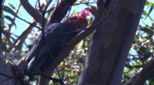 A Cockatoo Nibbles On The Branch Of A Gum Tree And Preens