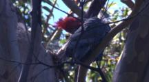 A Cockatoo Preens In The Canopy Of A Gum Tree