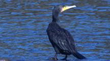 A Great Cormorant Pauses And Preens At The Water's Edge