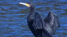 A Great Cormorant Dries Its Wings Near The Water's Edge