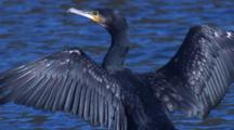 A Great Cormorant Spreads Its Wings To Dry At The Water's Edge