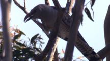 A Channel-Billed Cuckoo Observes From A Perch