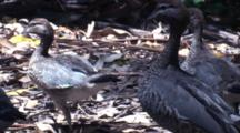 Three Juvenile Wood Ducks Walk With Mother