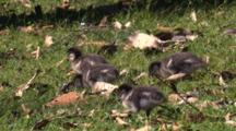 Four Ducklings Forage On A Meadow Among Foliage