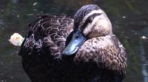 A Pacific Black Duck Pauses At The Margin Of A Pond