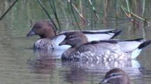 Australian Wood Ducks Enjoy A Swim On A Pond