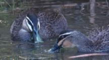 Two Pacific Black Ducks Bottom-Feed In A Pond