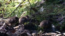 Wood Duck Chicks Search For Food On The Bank Of A Creek
