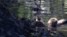 Wood Duck Chicks Climb Up On The Bank Of A Creek