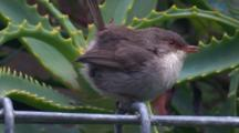 A Juvenile Superb Fairy-Wren On A Wire Fence Communicates And Flies Off