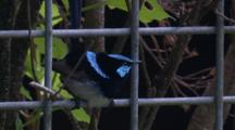 A Male Superb Fairy-Wren On A Wire Fence Flies Off