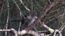 A Superb Fairy-Wren Preens On A Casuarina Branch
