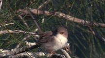 A Superb Fairy-Wren Flies Off A Casuarina Branch