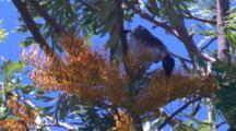 Noisy Friarbirds Belong To The Family Of Honeyeaters