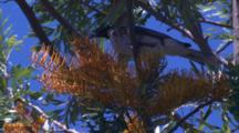 Noisy Friarbirds Belong To The Family Of Honeyeaters