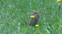 A Red-Browed Finch Feeds On Grass Seeds In A Meadow