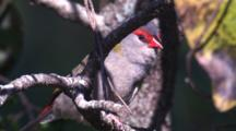 A Red-Browed Finch Preens Its Wing On A Perch And Flies Off
