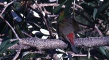 A Red-Browed Finch Preens On Its Perch