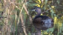 An Australasian Grebe Floats Among Reflections On A Pond