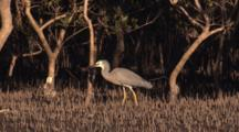 A Heron Forages Among Pneumatophores (Mangroves Breathing Roots)