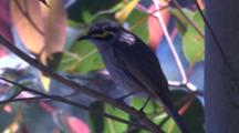 A Honeyeater Chirps On Its Perch, Turns, And Leaves