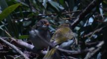 The Chick Of A Honeyeater Is Fed By Its Parent