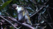 The Chick Of A Honeyeater Preens And Flies Off A Tree